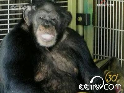 [视频]发狂袭人 美国一黑猩猩最终被射杀
