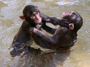 2008十大动物新闻<br>猴子为性买单