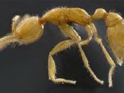2008十大新物种<br>金色火星蚁上榜
