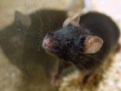 2008十大科学突破<br>日本复活死老鼠