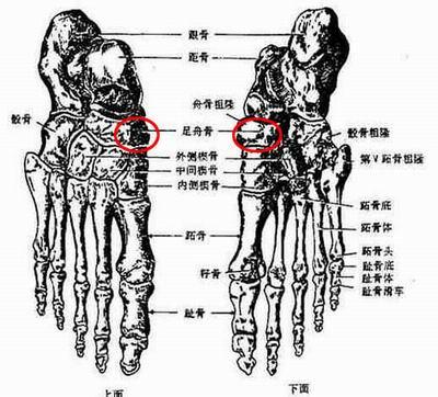胫动物骨腓骨解剖图